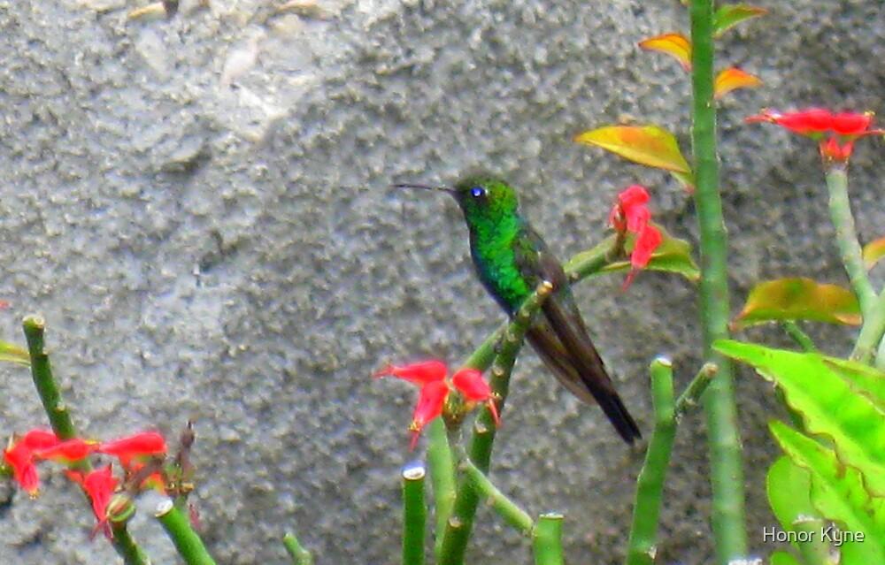 Cuban Emerald Hummingbird. by Honor Kyne
