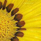 Yellow Gazania by Virginia N. Fred