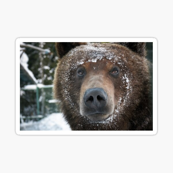 muzzle of a brown bear in snow Sticker