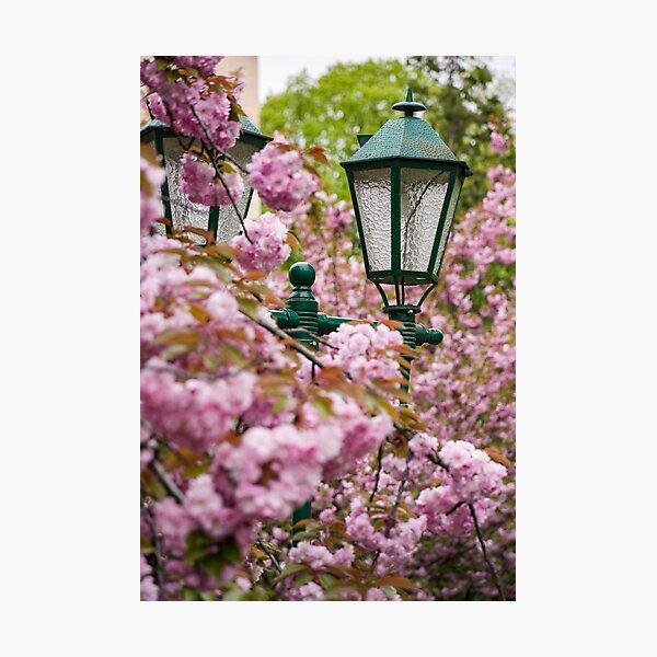 green lantern among cherry blossom Photographic Print
