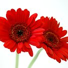 2 Red Flowers by markchadwick