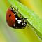 Contest 07 - Ladybug (Coccinella septempunctata)