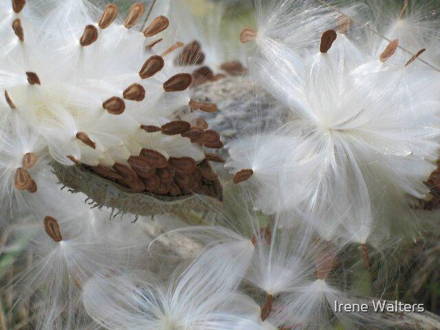 Milkweed Splendor by Irene Walters