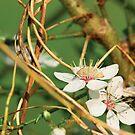 Cherry blossoms by Dominika Aniola