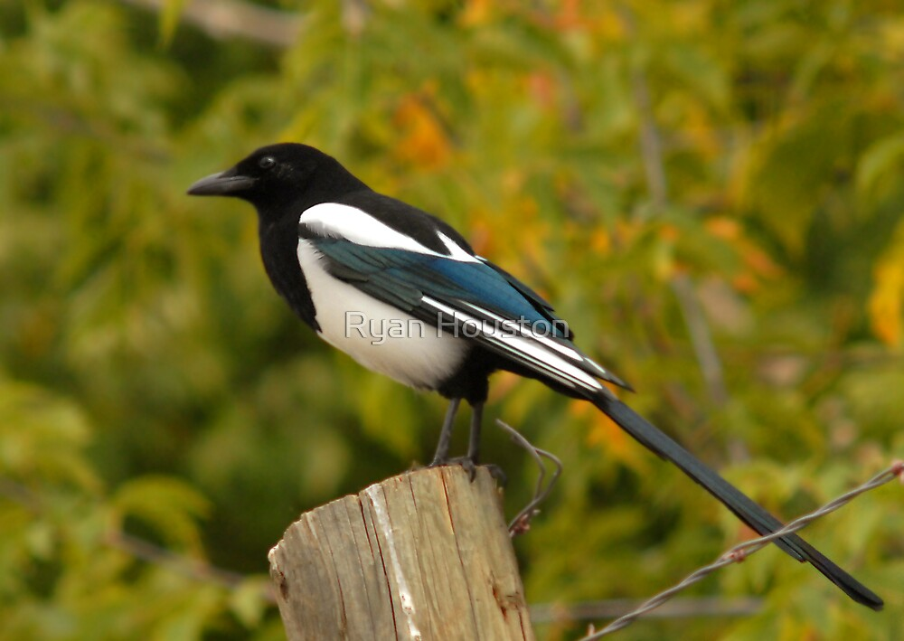 Blackbilled Magpie by Ryan Houston