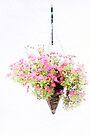 Chrysanthemums by missmoneypenny