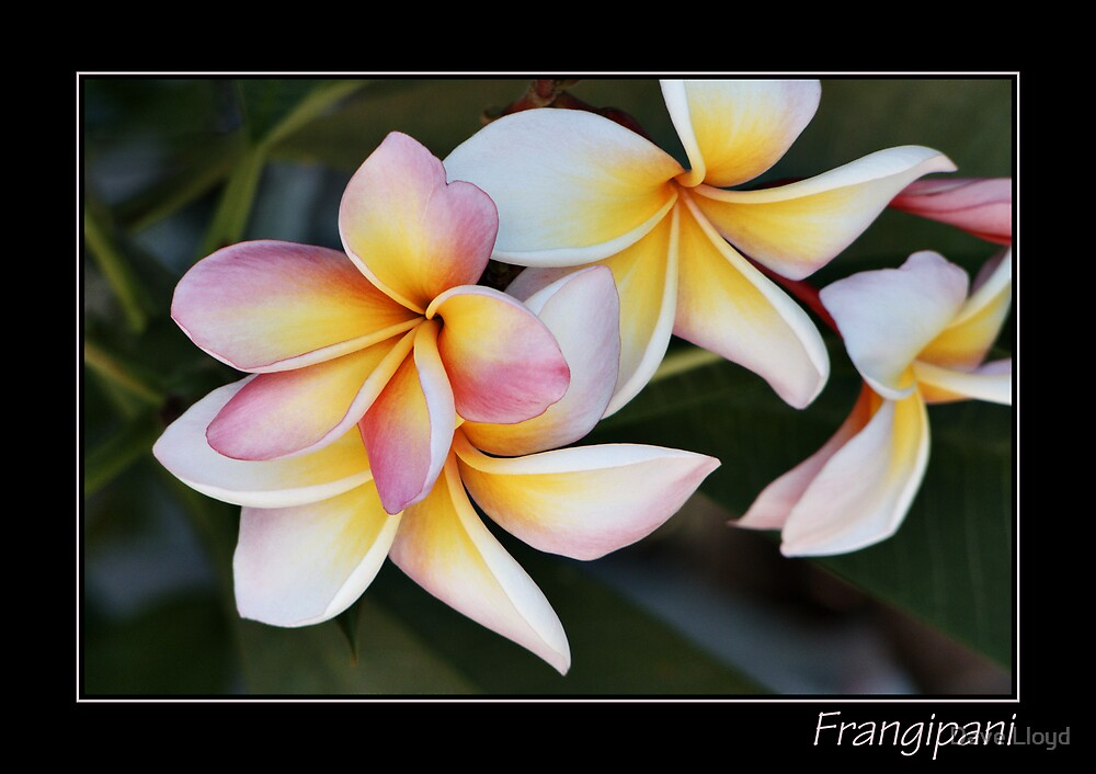 Frangipani With Text by Dave Lloyd