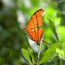 Ruddy Daggerwing Butterfly                   by Rosalie Scanlon