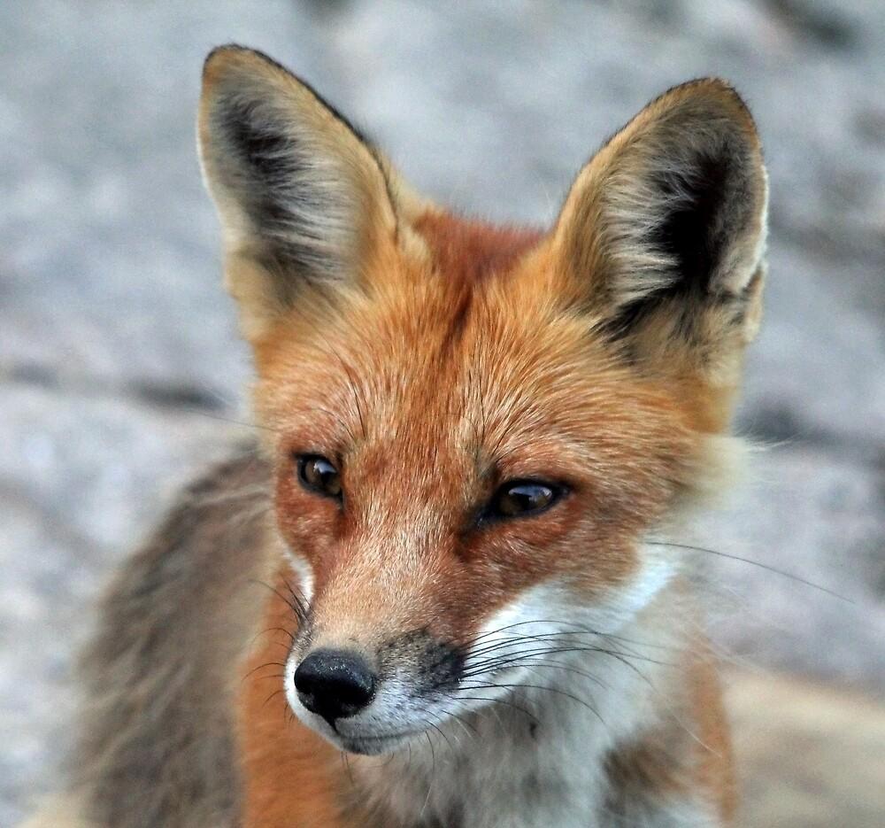 Red Fox Portrait by Debbie Oppermann
