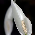 Peace Lily Flower by Debbie Oppermann