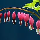 For Your Love - Bleeding Hearts by Debbie Oppermann