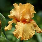 Rain Kissed Pure Orange Iris by Debbie Oppermann