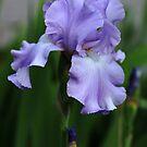 Sweet Blue Orchid Iris by Debbie Oppermann