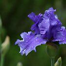 Solid Purple German Iris by Debbie Oppermann