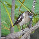 Butcherbird by Coloursofnature