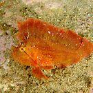 Leaf Scorpionfish - Taenianotus triacanthus by Andrew Trevor-Jones