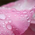 Rain drops on Rose of Seduction  by Malcolm Heberle