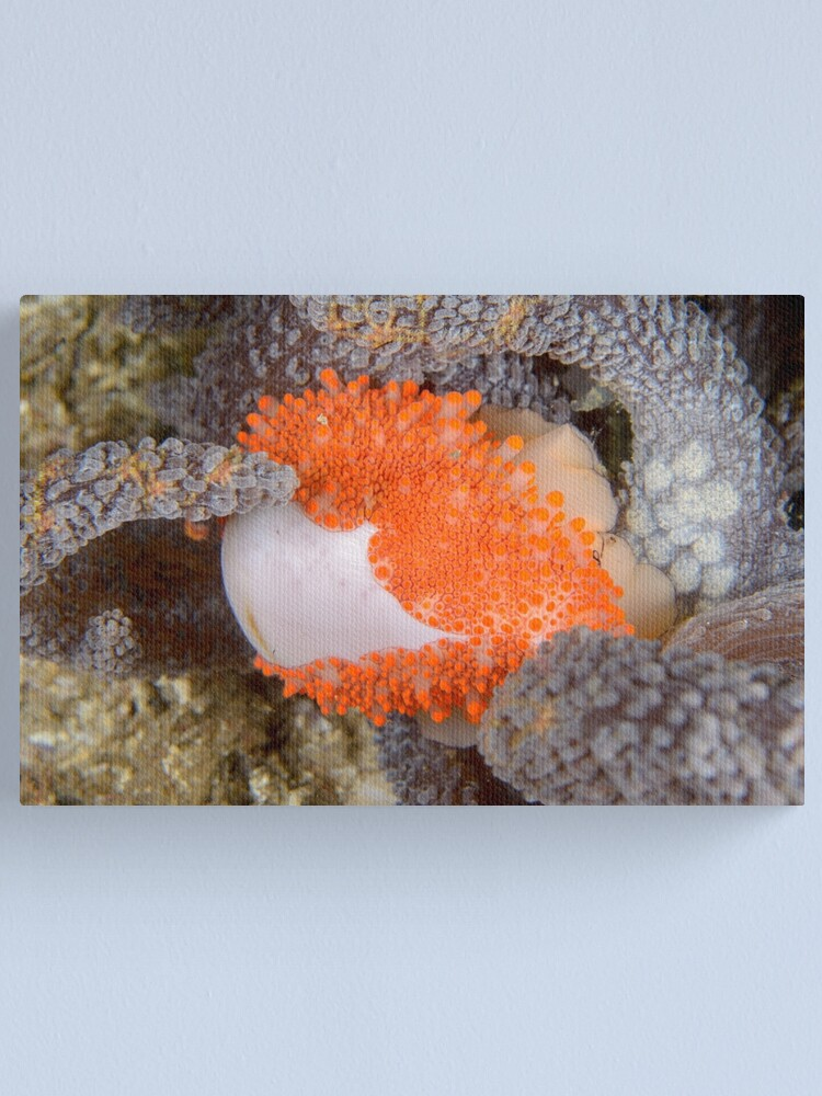 Alternate view of Golden Egg Cowrie - Ovula costellata Canvas Print