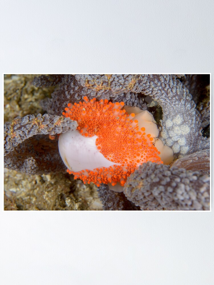 Alternate view of Golden Egg Cowrie - Ovula costellata Poster
