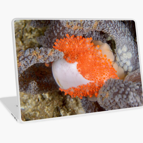 Golden Egg Cowrie - Ovula costellata Laptop Skin