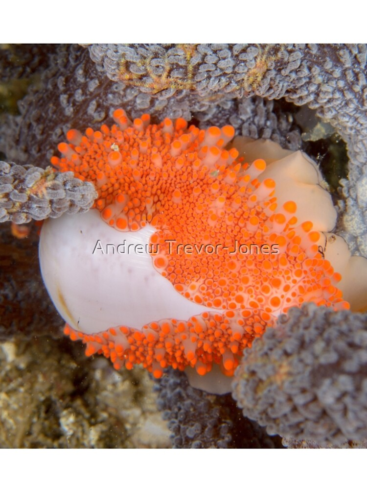 Golden Egg Cowrie - Ovula costellata by andrewtj