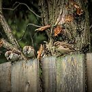 Sparrows 5 by Barry W  King