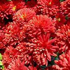 Chrysantemumms by Ana Belaj