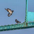 pigeon landing ambassador bridge by Barry W  King