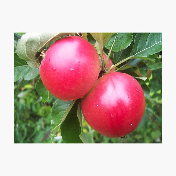 Somerset Apples Photographic Print
