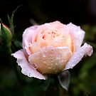 Roses in my Garden by Clare Colins