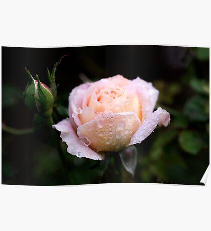 Roses in my Garden Poster