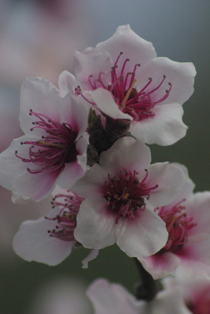 pink spring blossoms by Emma Dixon