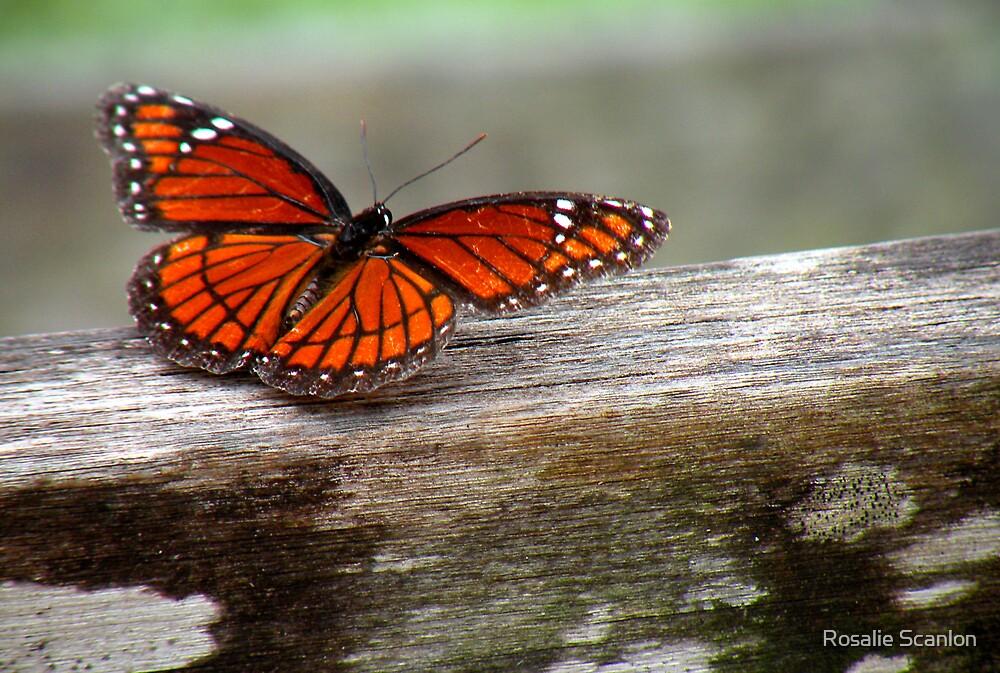 Viceroy Butterfly by Rosalie Scanlon