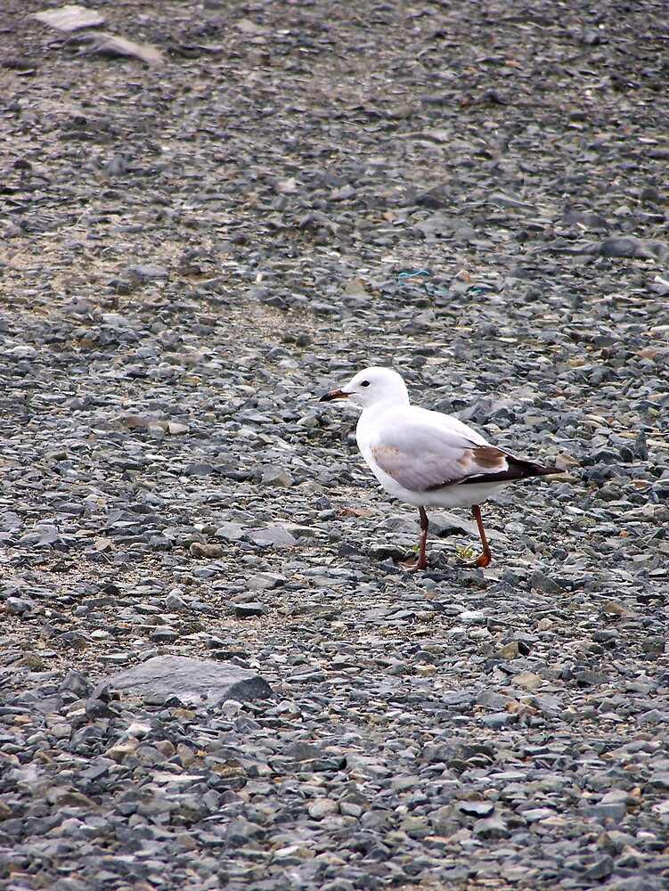 Seagull by KylieB