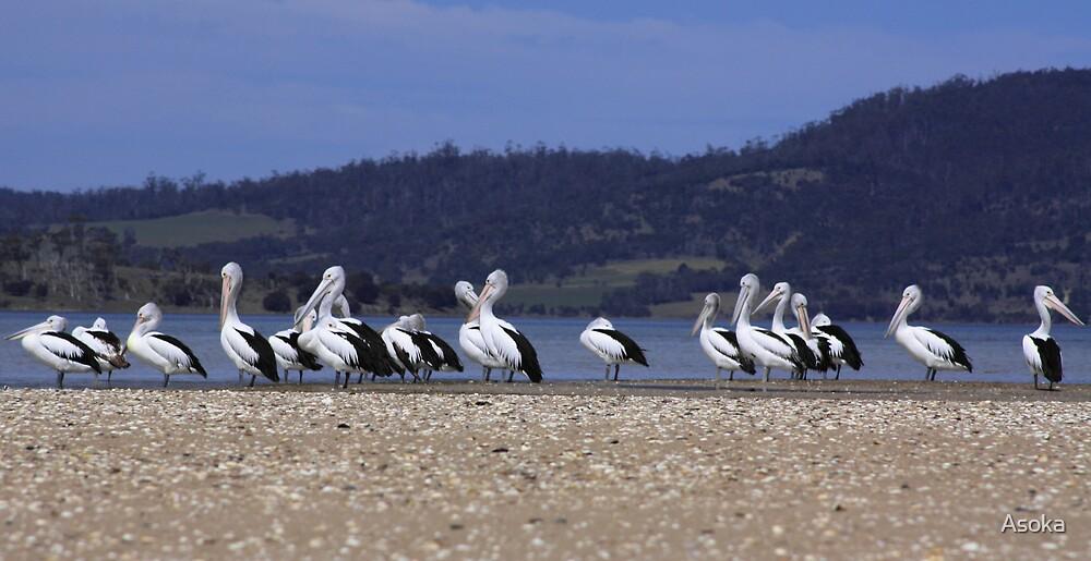 Pelican Point by Asoka