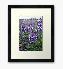 Alaskan Lupin Framed Print