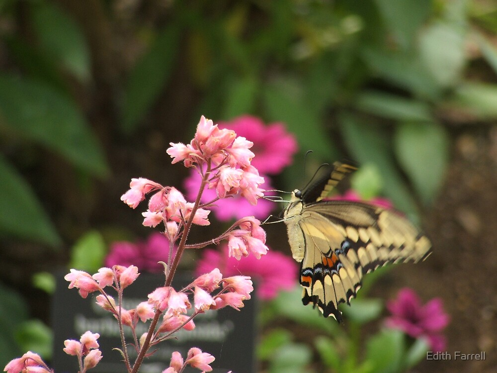 Anise Swallowtail by Edith Farrell