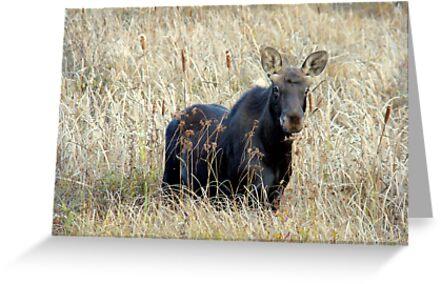 Young bull moose by Jocelyne Phillips