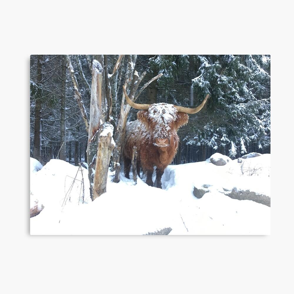 Scottish Highland Cattle Cow 1264 Canvas Print