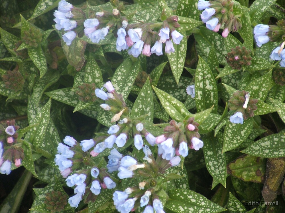 Lungwort by Edith Farrell