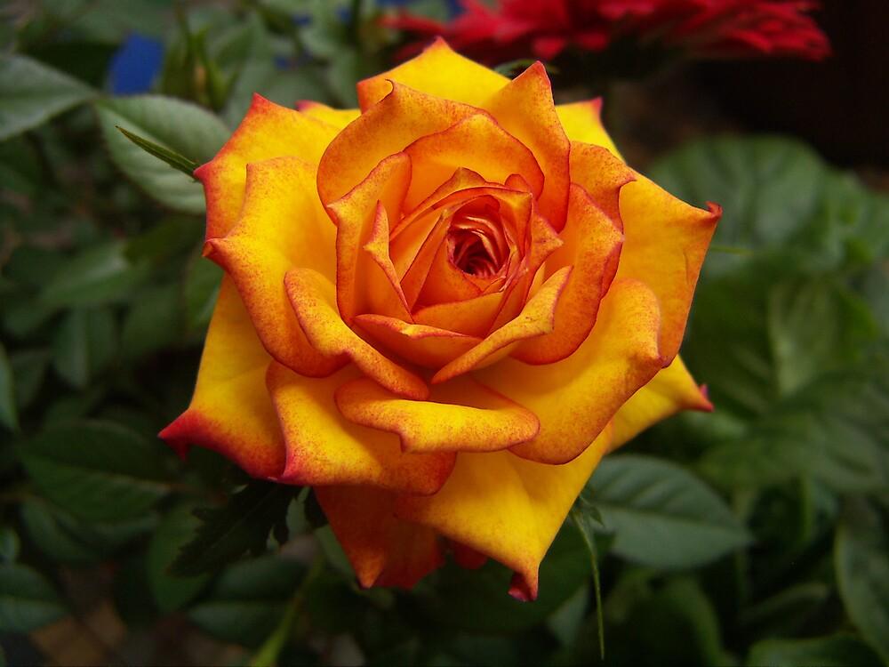 Rose by jiaeru