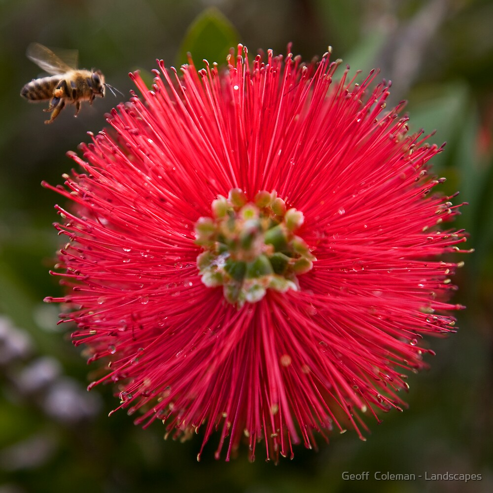 Bee is for Bottlebrush by Geoff  Coleman - Landscapes