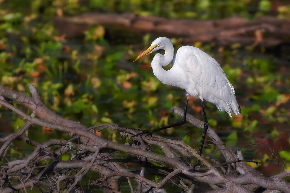 Great Egret by Margaret Barry