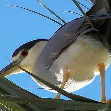 Black-Crowned Night Heron by RichImage