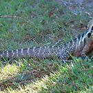 Australian Water Dragon by Robyn Williams