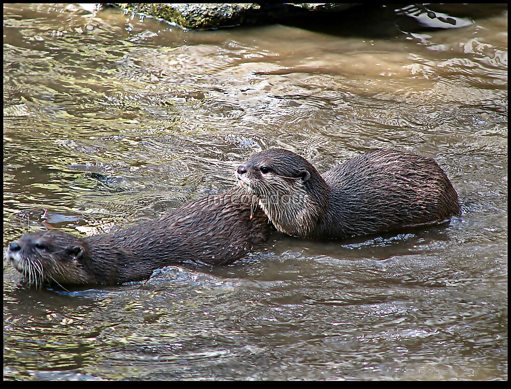 Otters at Play by Malcolm Chant