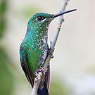 Green-crowned Brilliant hummingbird - Costa Rica by Jim Cumming