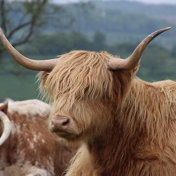 Portrait of Highland cattle by TomConway