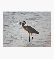 Dinner- Great Blue Heron  Photographic Print