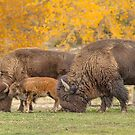 Bison Family Nation by Bo Insogna